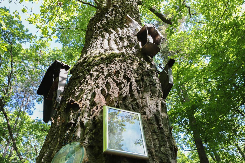 Bildeiche mit Devotionalien im Wald