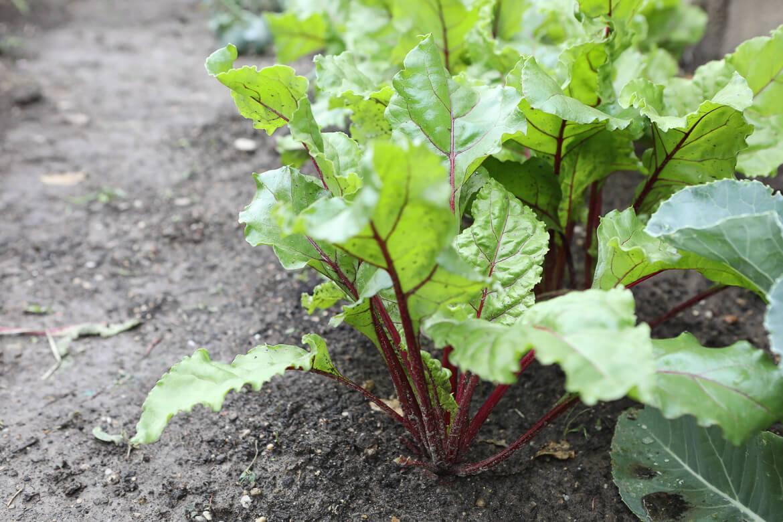 Rote Rüben, urban Gardening